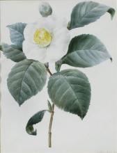 Fleur de Camelia Blanc - Pierre-Joseph Redoute
