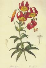 Lilium Superbum - Pierre-Joseph Redoute