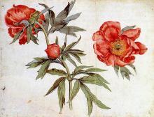 Study of Peonies - Martin Schongauer