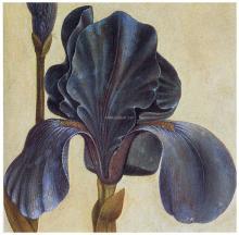 Troiana Iris Detail