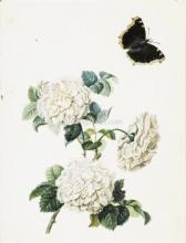 Trois Roses Blanches et un papillon (Recto); Esquisse D'une Tulipe Jaune (Verso) - Pierre-Joseph Redoute