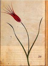 Tulip - Ustad Mansur